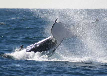 Whale Watching Sydney - Accommodation Coffs Harbour