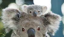 Billabong Koala and Wildlife Park - Accommodation Coffs Harbour