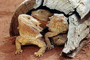 Alice Springs Reptile Centre - Accommodation Coffs Harbour