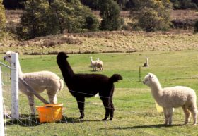 Maydena Country Cabins Accommodation  Alpaca Stud - Accommodation Coffs Harbour