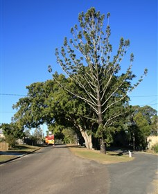 Anzac Avenue Memorial Trees, Beerburrum