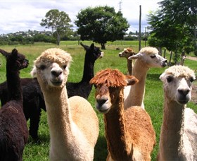 Banyandah Alpacas - Accommodation Coffs Harbour