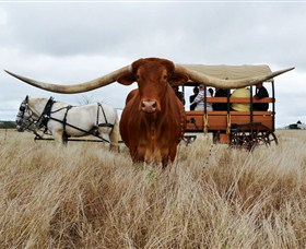 Texas Longhorn Wagon Tours and Safaris - Accommodation Coffs Harbour