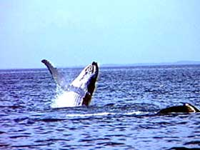 Whale Watching - Accommodation Coffs Harbour