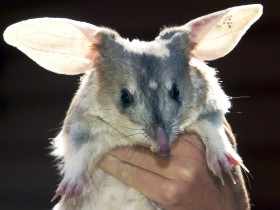 Charleville - Bilby Experience