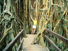 Curtain Fig Tree - Accommodation Coffs Harbour