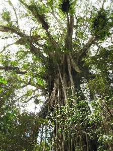 Cathedral Fig Tree - Accommodation Coffs Harbour