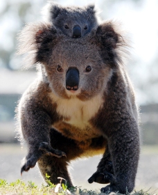 Koalas in Gunnedah - Accommodation Coffs Harbour