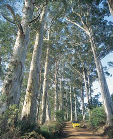 The Great Forest Trees Drive - Accommodation Coffs Harbour