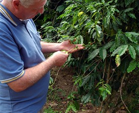 Wombah Coffee Plantation - Accommodation Coffs Harbour
