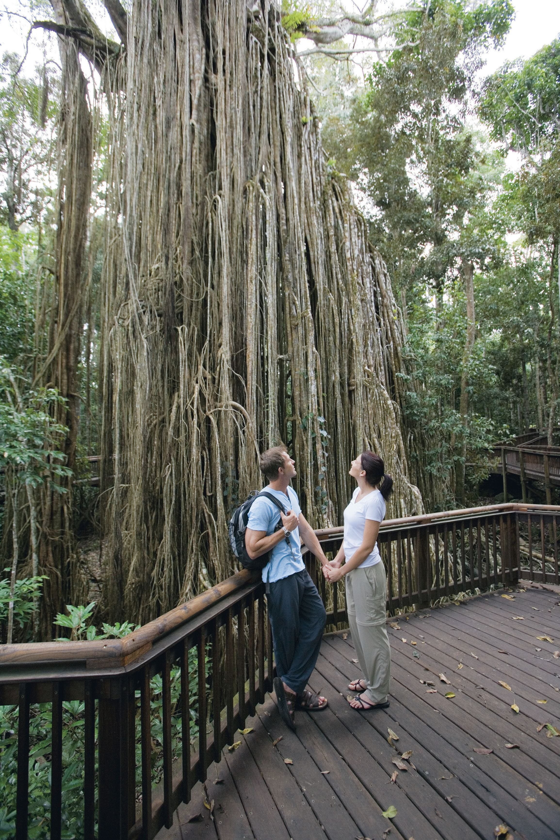 Curtain Fig Tree Yungaburra - Accommodation Coffs Harbour