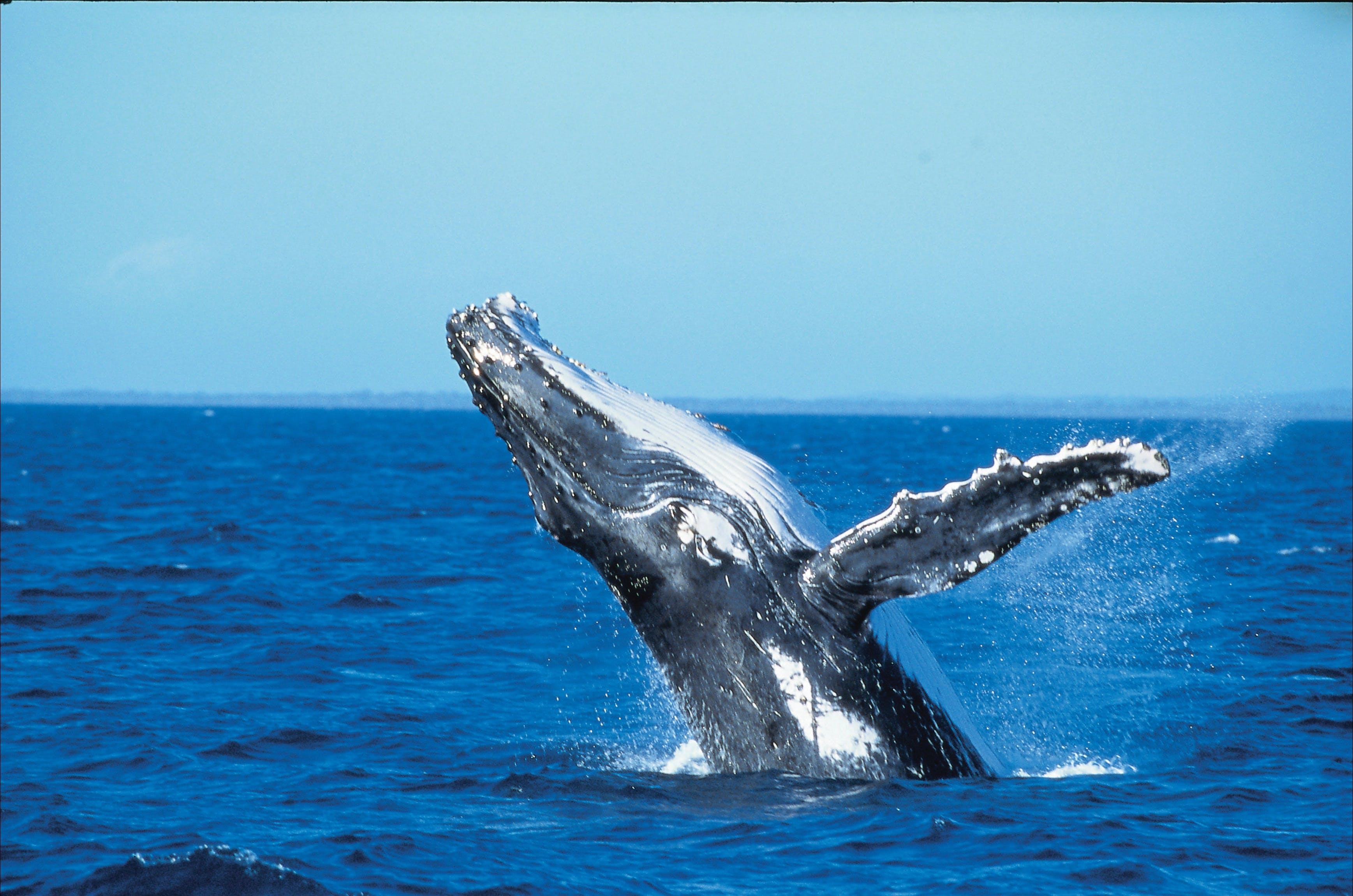 Whale Watching on Keswick Island - Accommodation Coffs Harbour