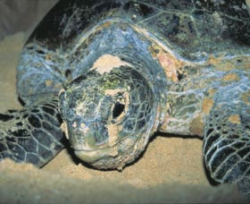 Turtle Nesting Season - Accommodation Coffs Harbour